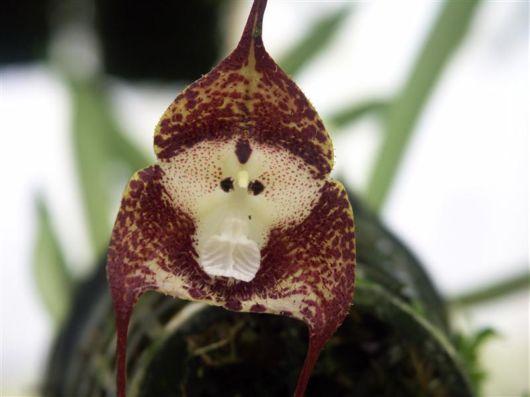 The Amazing Monkey Orchid