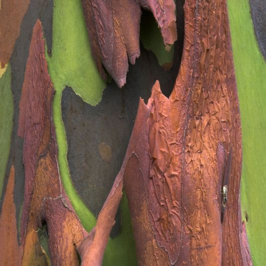Rainbow Eucalyptus - The Most Colorful Tree On Earth