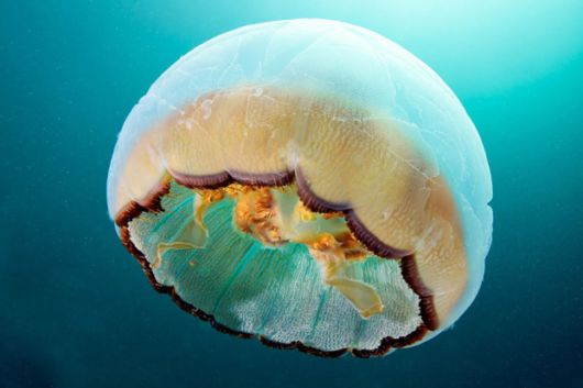 Otherworldly Photographs Of Underwater Jellyfish